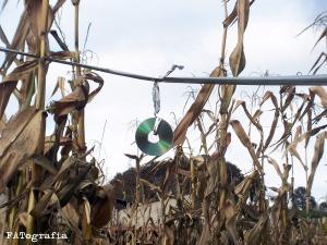 CD en una tierra de maiz